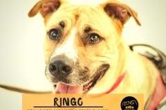 ringo-principal